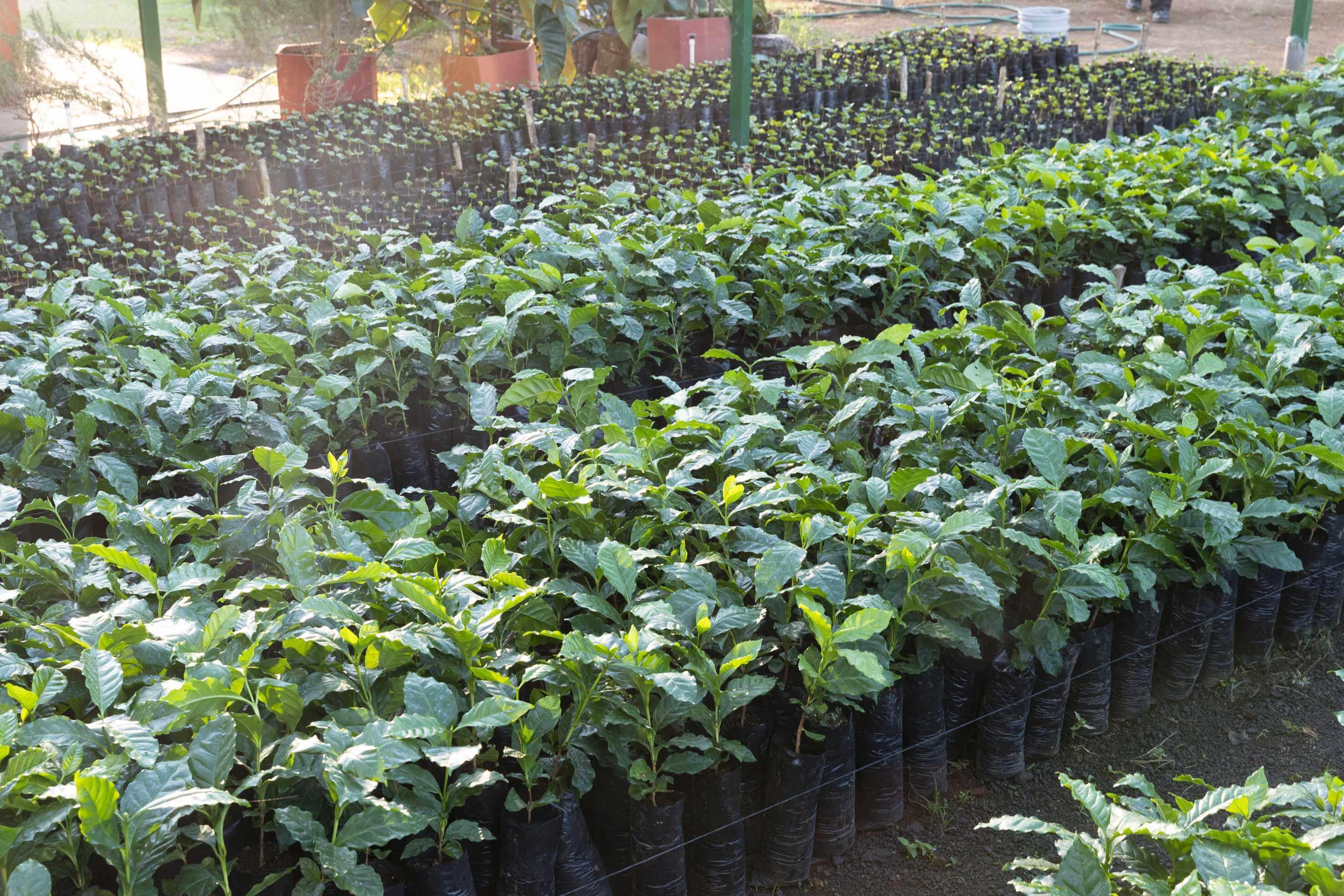 Junge Kaffeepflanzen in einer Nursery in Chinameca.